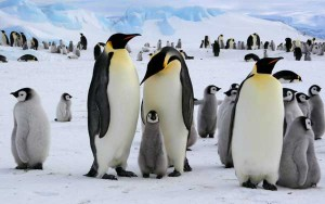 Penguins Habitat and Distribution Facts