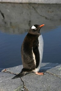Gentoo Penguin Facts and Information
