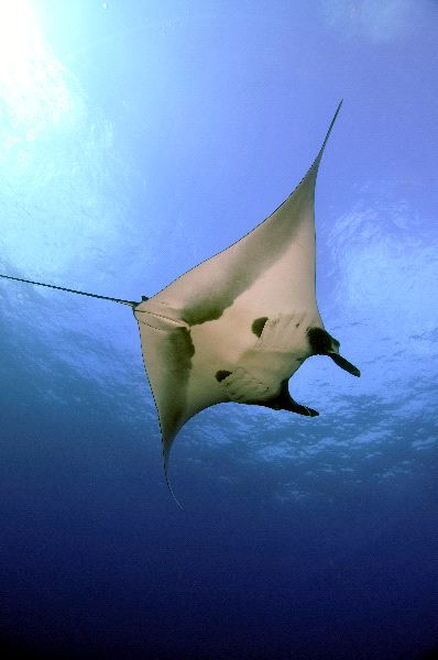 Giant Manta Facts