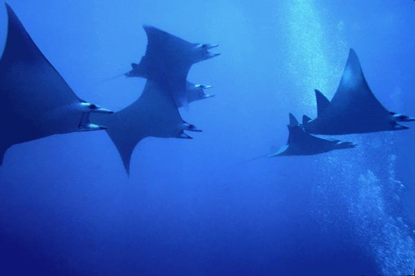 Manta Rays Reproduction