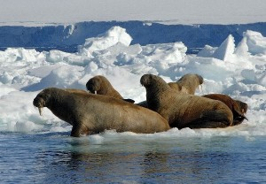 Walrus Feeding Facts