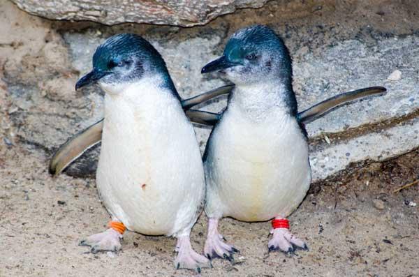 Little Blue Penguin - Eudyptula minor