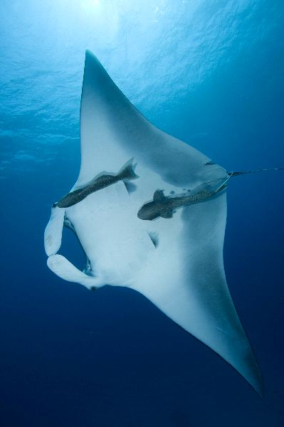 Manta Ray and Remoras