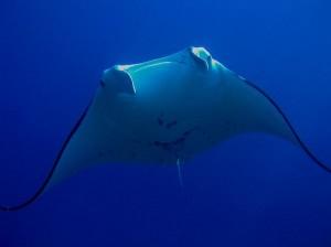 Manta Rays Habitat