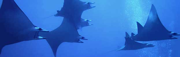 Manta Ray Behavior