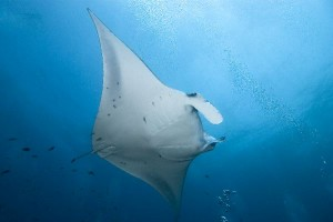 Reef Manta Ray Facts
