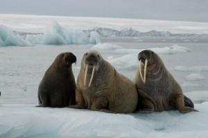 Walrus habitat facts