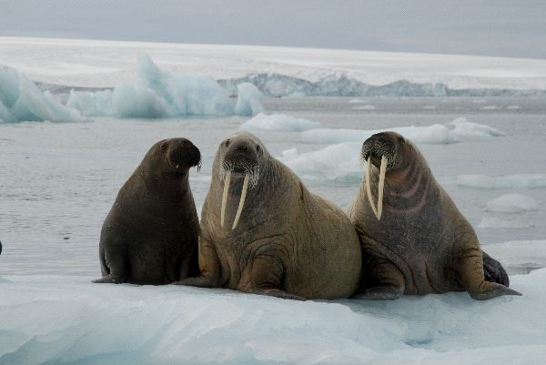 Walrus habitat facts