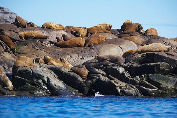 Walrus Behavior Facts
