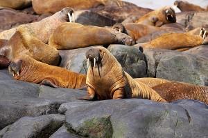 Walrus - Odobenus rosmarus