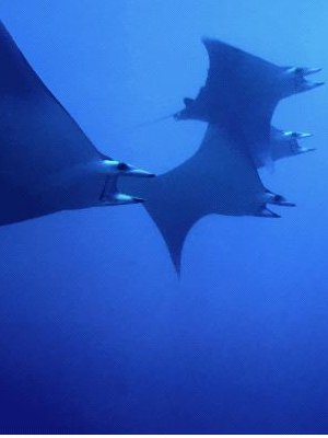 Facts About Manta Rays