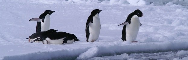 Penguin Behavior