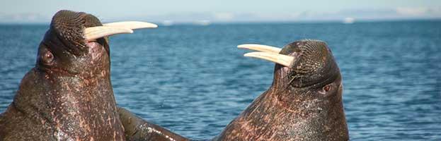 Walrus Behavior