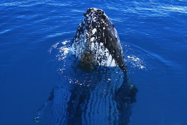 Humpback Whale Spy Hop