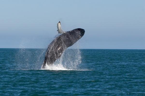 Humpback in the ocean