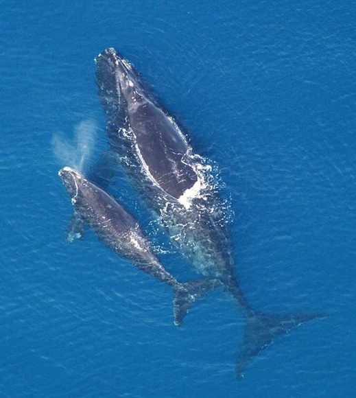 A female North Atlantic right whale with her calf / Photo courtesy of Noaa