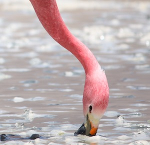 Andean flamingo feeding