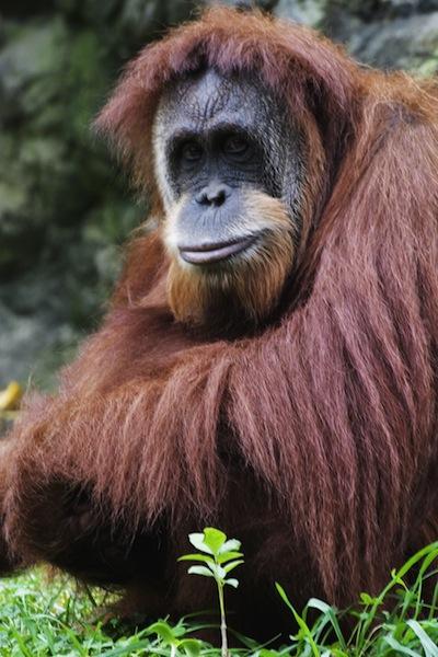 Bornean orangutan facts