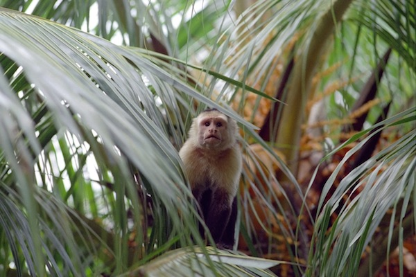 capuchin monkey facts and information