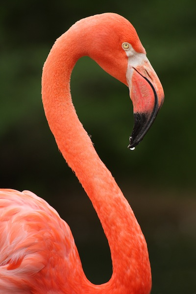 American Flamingo Information