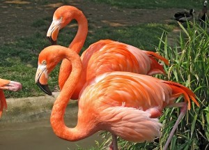 Flamingo Characteristics