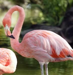 Flamingo in captivity