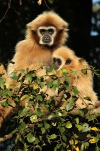 Lesser apes facts
