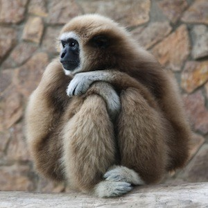 Gibbon picture