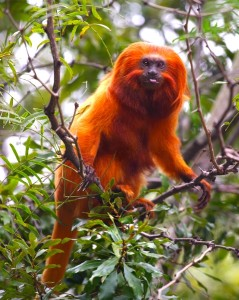 Golden marmoset facts