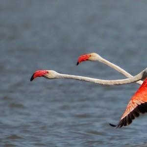 Largest flamingo