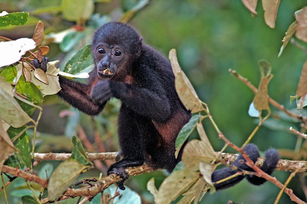 Howler - A New World Monkey