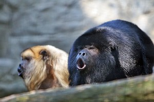Howler monkey - New World monkey
