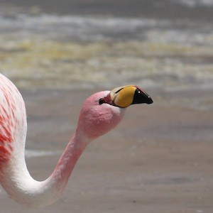 James Flamingo in lake