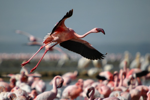 Lesser Flamingo information