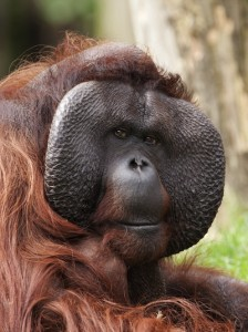 Orangutan body