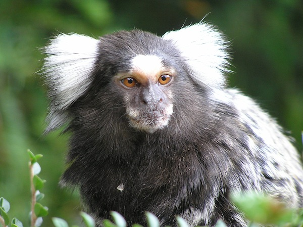 Marmoset - New World monkey