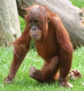 Baby orangutan walking