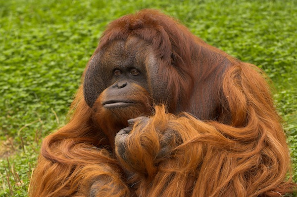 Orangutan Anatomy Animal Facts And Information