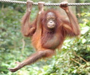 Orangutan social behavior