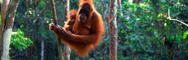 Orangutan Reproduction