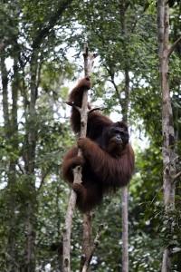 Orangutan endangered