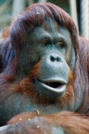 Orangutan information