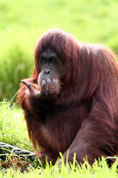 Orangutan and food