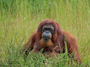 Orangutan distribution