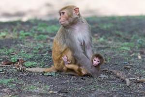 Rhesus monkey facts
