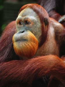 Orangutan Facts