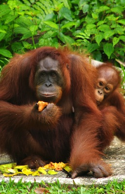 Types of orangutans