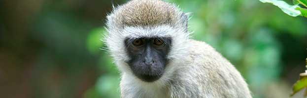 Vervet Monkey Facts For Kids