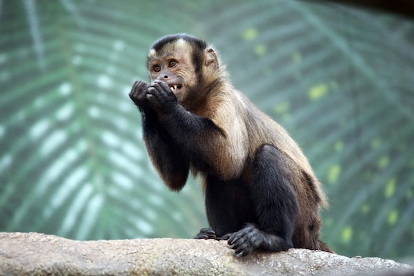 Capuchin Monkey information