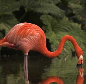 Flamingo diet festure